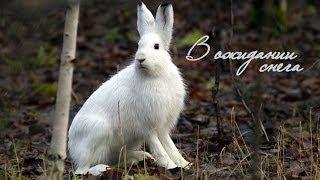 Download В ожидании снега / Заяц-беляк / Lepus timidus L. Video