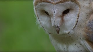 Download Cute Barn Owl Learns How To Fly - Super Powered Owls - BBC Video