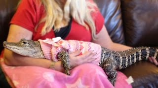 Download The World's Most Pampered Alligator Video