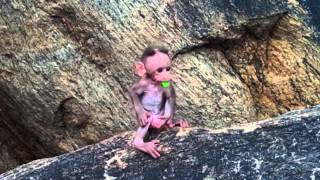 Download Baby Monkey Playing at Thiruparankundram, India. Video