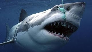 Download Sharks : Scavengers of the Seas - Documentary Video