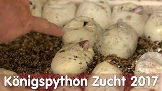 Download Reptil TV - Folge 105 - Königspython Zucht 2017 Video