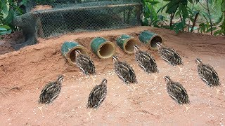 Download Awesome Quick Bird Trap Using Bamboo Palm Wine & Net That Work 100% Video