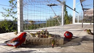 Download Red Browed Finches Video
