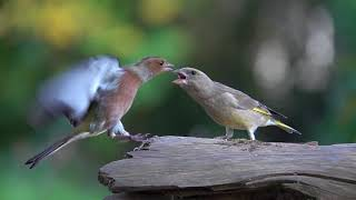 Download Greenfinch and Chaffinch argue. Sony RX10 IV slow motion 250 fps Video