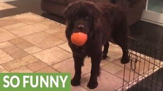 Download Newfoundland puppy steals little girl's pumpkin Video