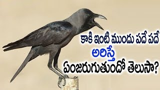 Download కాకి ఇంటి ముందు పదే పదే అరిస్తే ఏంజరుగుతుందో తెలుసా?  Kaaki Ariste   Unknown Facts About Crow Sounds Video