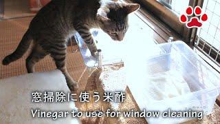 Download 子猫れお 酢を嗅いだら大変な事になった。 【瀬戸のれお日記】A Kittens Smells Vinegar Video