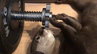 Download カワウソさくら 職人技!?カワウソ器用すぎてびびる Otter is dexterous Video