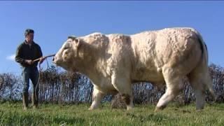 Download Yonne : le taureau Holiday remporte le Grand Prix au Salon de l'agriculture Video