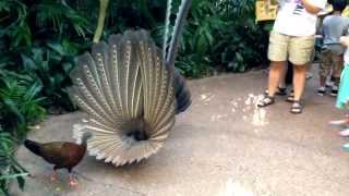Download Great Argus Pheasant Mating Dance (argusianus argus) Video