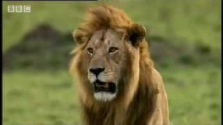 Download Cheetah vs lion - Big Cat Diary - BBC Video