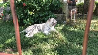 Download Zabu White Tiger gets a Pumpkin! Video