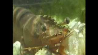 Download Giant cannibal shrimp asian tiger are invading the coasts of America en masse Video