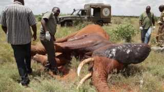 Download Saving a life - In the field treatment of elephant targeted by poachers Video