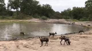 Download Wild dogs Video