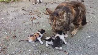 Download Baby kittens meowing very loudly for mom cat Video