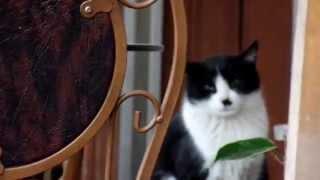 Download 시크한 매력을 가진 예쁜 턱시도 고양이 .Jeonju .전주. 全州. KOREA Video