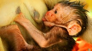 Download WOW!New Baby Hungry Milk So Much,Adorable New Baby Monkey Very Great Attractive,SOK ST1044 Video