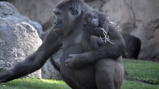 Download La bebé gorila VIRUNGA cumple 7 meses en BIOPARC Valencia Video