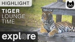 Download Tigers Relax On Vacation at Big Cat Rescue - Live Cam Highlight Video