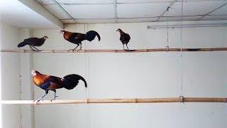 Download Peternakan Ayam Hutan Modern Untuk Memproduksi Bibit Ayam Hutan Video