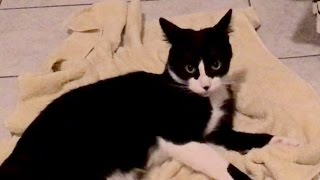 Download Tuxedo Cat Hisses at His Own Tail Video
