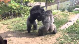 Download Omaha Zoo - Gorilla Fight ″Where's the Zookeepers″ Video