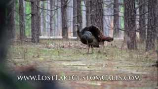 Download Wild Turkey Hens Cutting Yelping and Calling Video