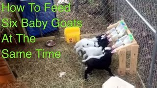 Download How to Feed Six Baby Goats at One Time Video