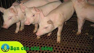 Download Kinh nghiệm phòng và trị bệnh tiêu chảy cấp ở Lợn (Heo) Video