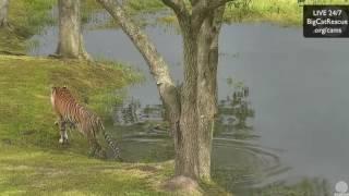 Download Kali Tiger Pond Rain 30 July 2016 Video