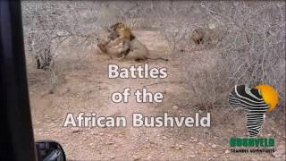 Download Male Lion Fight Video