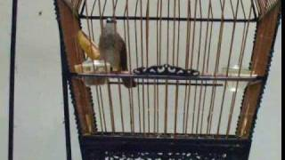 Download Yellow Vented Bulbul - Practicing his song Video