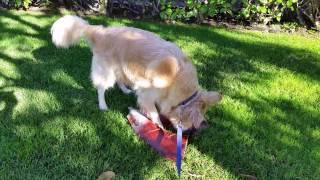 Download Happy Dog Tearing Apart Palm Frond Husk - English Cream Golden Retriever Video