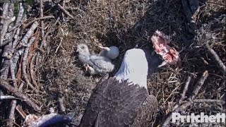 Download SWFL Eagles ~ E9 Falls Over on Back 1.9.17 Video