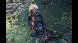Download Rescued Sea Otter Pup Hardy Meets Tanu Video