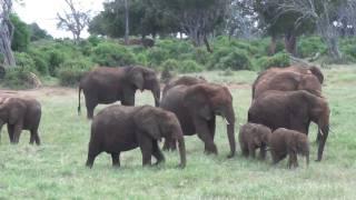 Download Baby elephants playing, very cute funny!!!! African Safari Tsavo East Kenya Video