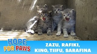Download Lion kings and queens born in a storm drain - rescuer leaves screaming! Video
