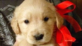 Download Christmas Puppy Surprise Compilation NEW Video