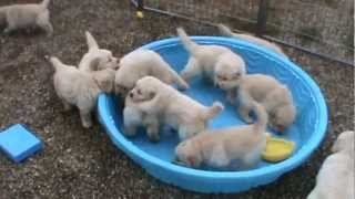 Download 5 week old golden retriever puppies really mad when someone doesn't fill their pool! Video