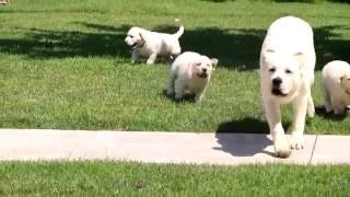 Download English Cream Lab Puppies for Sale Video