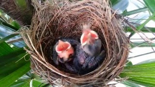 Download Sound of a frightening bird on Day 7 - Baby birds (Yellow-vented Bulbul) Video