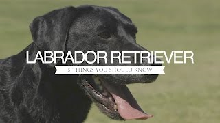 Download LABRADOR RETRIEVER FIVE THINGS YOU SHOULD KNOW Video