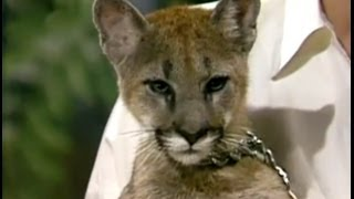 Download Baby Mountain Lion Stares Down Johnny Carson, Apr 1986, Part 3 Video