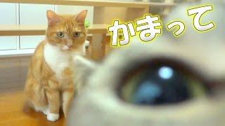 Download 猫がやたらと撮影の邪魔をしてくる - the cat disturbs filming - Video