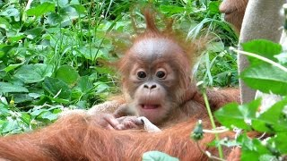 Download Emotional orangutan family moments Video