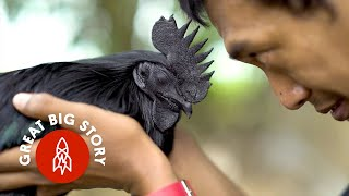 Download This Chicken is Entirely Black, From Beak to Bone Video