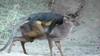 Download Monkey Jockey Video