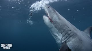 Download The Top 30 Sharks of Shark Week: Part Three Video